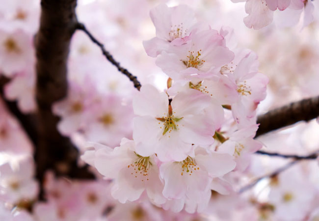 Cherry Blossom Benefits For Aging and Inflammation